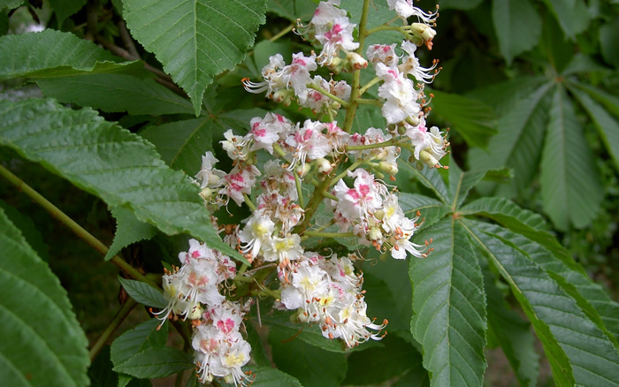 Whitw Chestnut