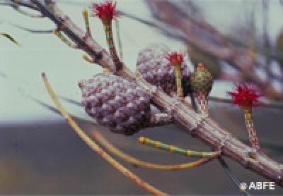 she-oak-84_m Australske Bush cvijetne kapi - Soul Art